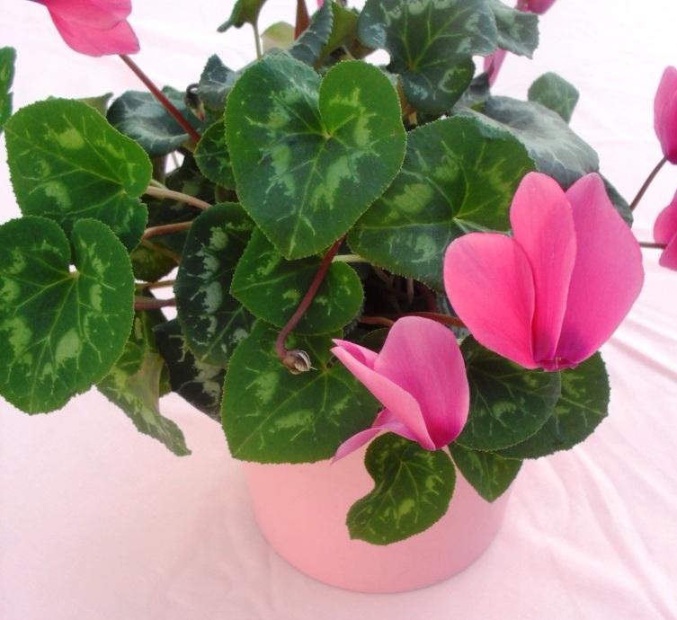 Pink flowering pot plant