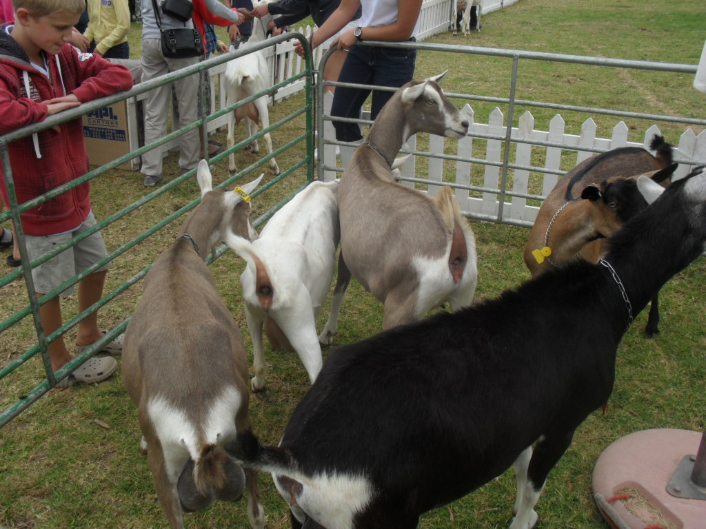 Goats at the Cape Dairy Experience