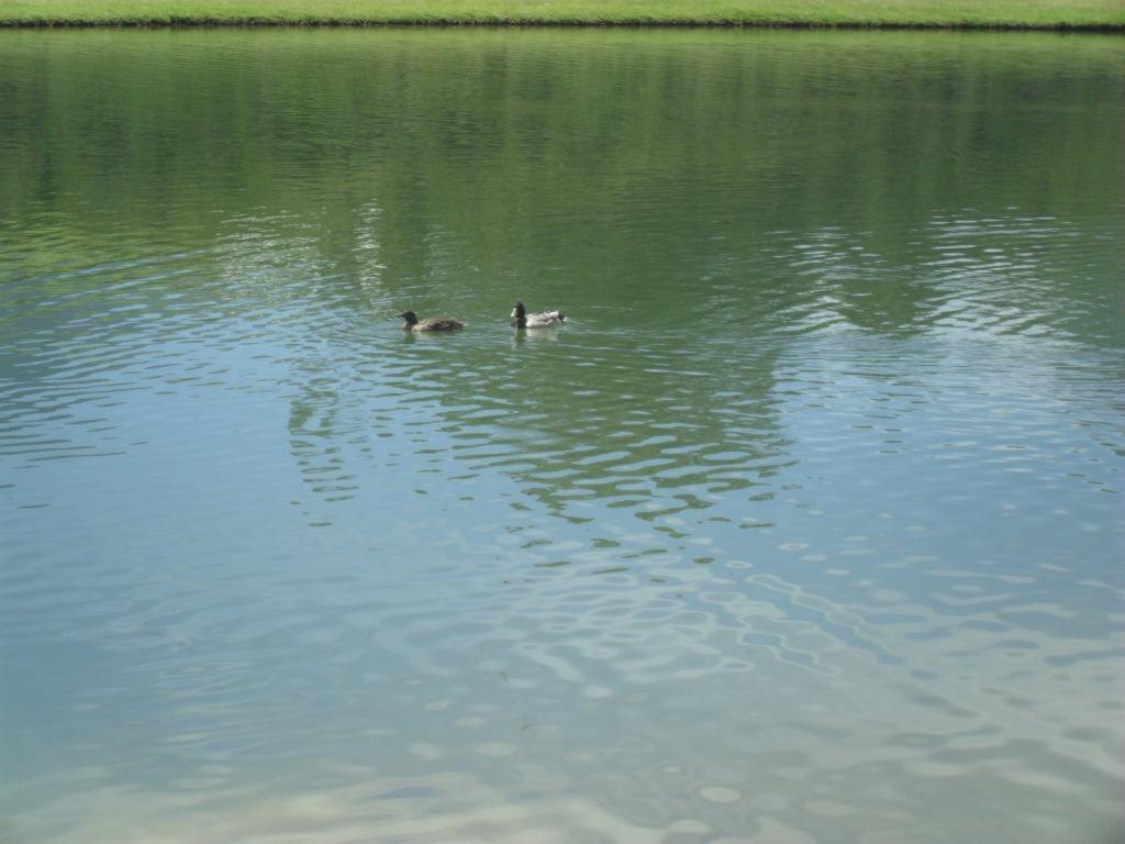 Ducks at Webersburg
